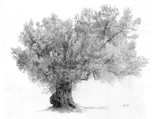 Olive tree. Maslina Olovka