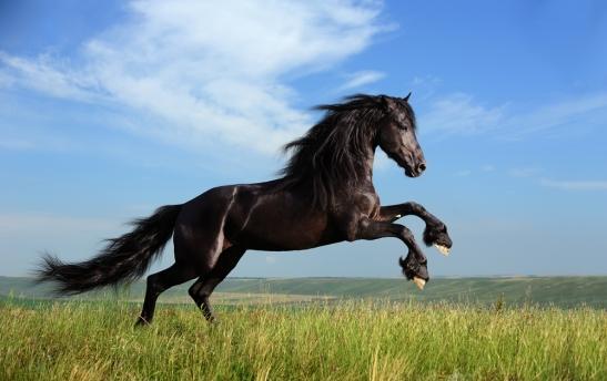 Barbe horse